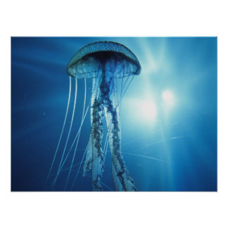 Jelly Fish Poster