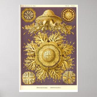Jellyfish - Discomedusae - Ernst Haeckel Poster