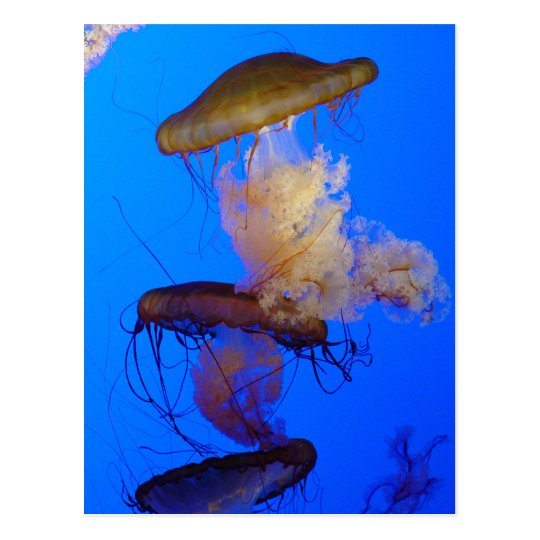 Jellyfish Postcard