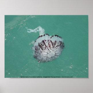 Jellyfish Santa Cruz Island California Print