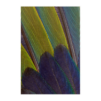 Jenday Conure Feather Detail Acrylic Print