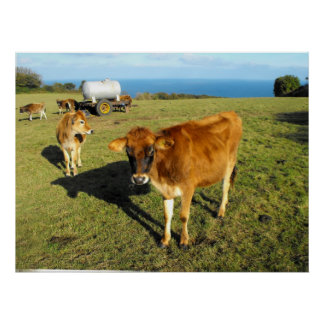 Jersey calves, St John, Jersey Posters