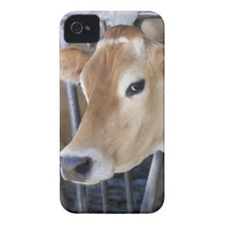Jersey dairy cow with head in head lock. iPhone 4 Case-Mate cases