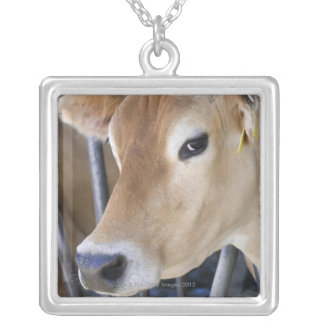 Jersey dairy cow with head in head lock. silver plated necklace