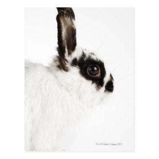 Jersey Wooly Rabbit Postcard
