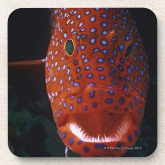 Jewel Grouper, Cephalopholis miniata Coaster
