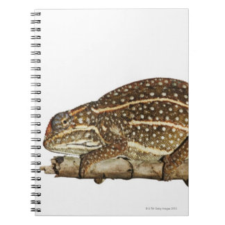 Jewelled chameleon, Campan's chameleon Notebook