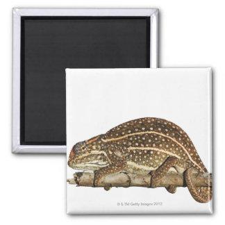 Jewelled chameleon, Campan's chameleon Square Magnet
