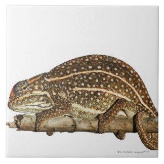 Jewelled chameleon, Campan's chameleon Tile