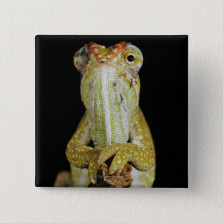 Jewelled chameleon, or Campan's chameleon 15 Cm Square Badge