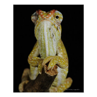 Jewelled chameleon, or Campan's chameleon Poster