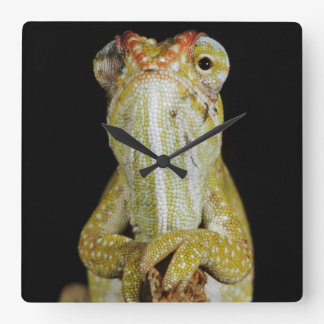 Jewelled chameleon, or Campan's chameleon Square Wall Clock