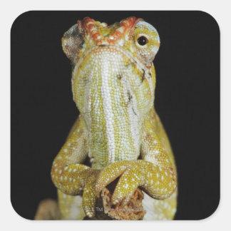 Jewelled chameleon, or Campan's chameleon Square Sticker