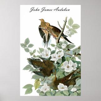 John James Audubon Carolina Pigeon Mourning Dove 1 Poster