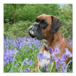 Jolie in the Bluebells Poster