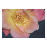 Joseph's Coat Rose on Canvas Print