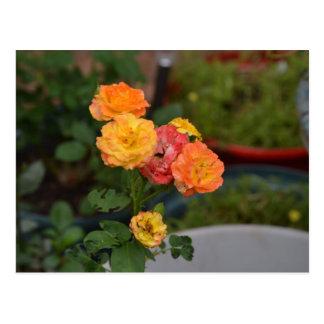 Joseph's coat roses postcard