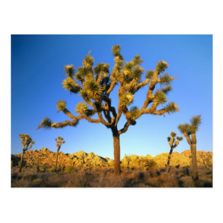 Joshua Tree National Park, California. USA. Postcard