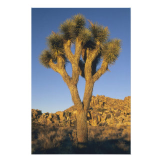 Joshua Tree, Yucca brevifolia), and granite Photo
