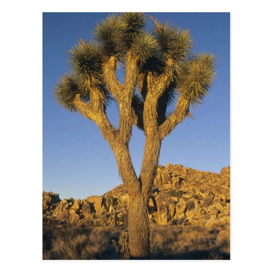 Joshua Tree, Yucca brevifolia), and granite Postcard