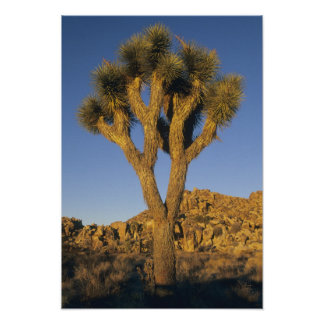 Joshua Tree, Yucca brevifolia), and granite Poster