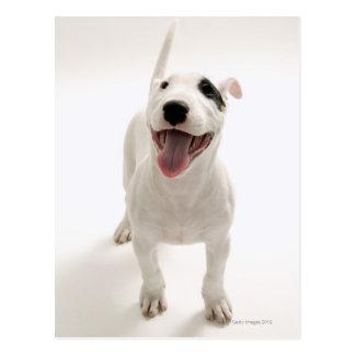 Joyful Bull terrier Postcard