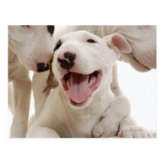 Joyful Bull terriers Postcard