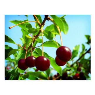 Joys of Summer red cherries Postcard