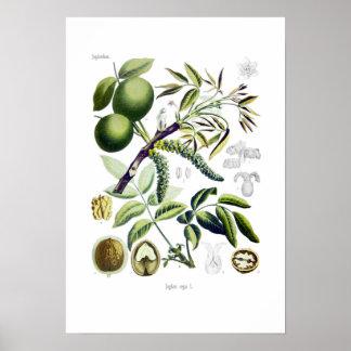 Juglans regia (walnut) poster