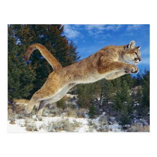 Jumping Cougar Postcard