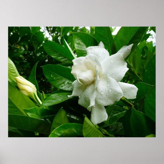 Jungle Gardenia Poster