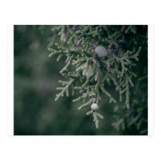Juniper Berries Postcards