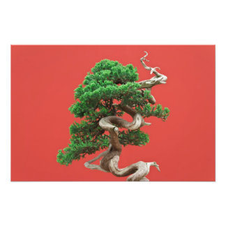 Juniper bonsai art photo