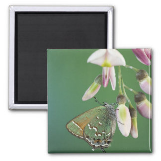 Juniper Hairstreak, Callophrys gryneus, adult on Magnet
