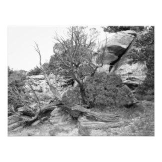 Juniper on the Rocks Photo