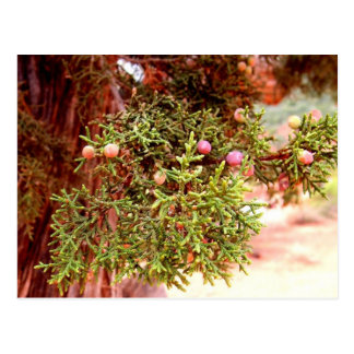 Juniper Tree Postcard