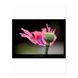 Just a flower – Pink poppy flower 015 Postcard