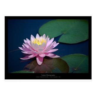 Just a flower – Pink waterlily flower 008 Postcard
