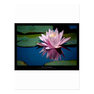 Just a flower – Pink waterlily flower 009 Postcard