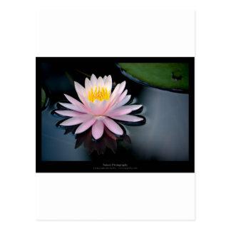 Just a flower – Pink waterlily flower 037 Postcard