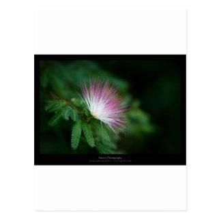 Just a flower – Pink & White flower Caliandra 011 Postcard