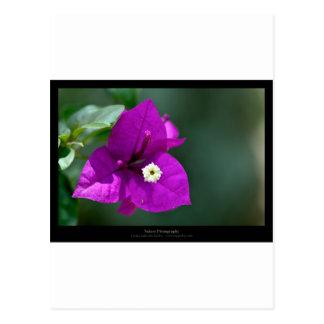 Just a flower – Purple flower Bouganvillea 010 Postcard
