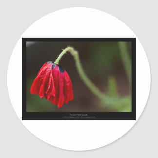 Just a flower – Red flower Poppy 012 Sticker