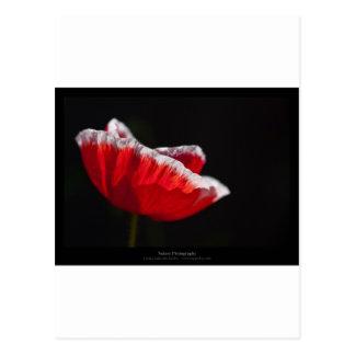 Just a flower – Red poppy flower 014 Postcard