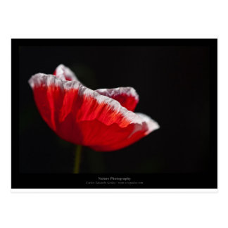 Just a flower – Red poppy flower 014 Postcard