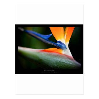 Just a flower – Strelitzia flower 013 Postcard