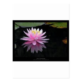 Just a flower – Waterlily flower 017 Postcard