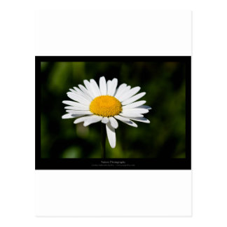 Just a flower – White daisy 005 Postcard