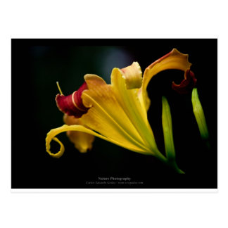 Just a flower – Yellow lily flower 016 Postcard