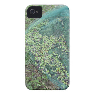 Just picked olives on the net during harvest time iPhone 4 cover